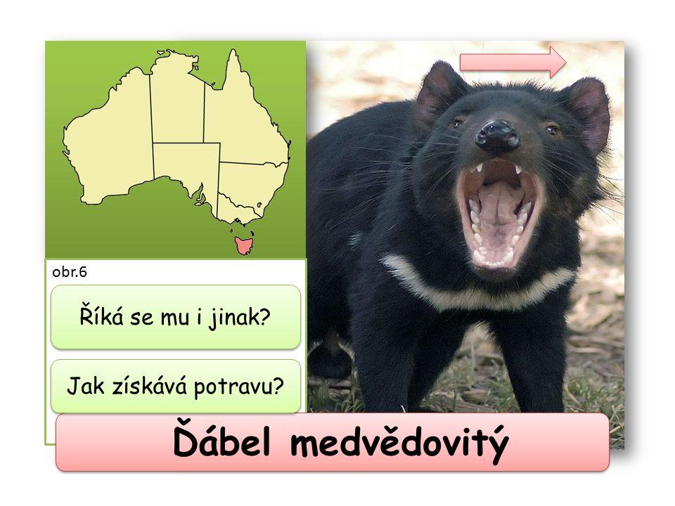 Ďábel medvědovitý jinak také tasmánský Říká se mu i jinak čert