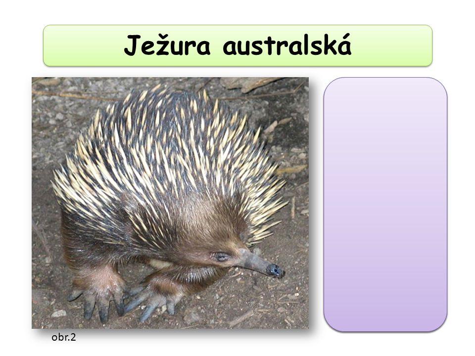 Ježura australská bezzubá trubkovitá ústa