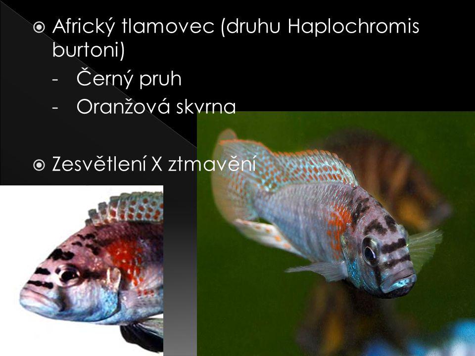 Africký tlamovec (druhu Haplochromis burtoni)