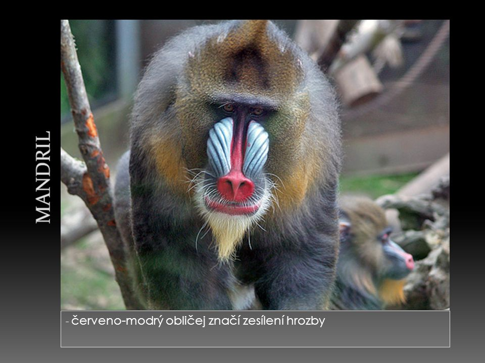 Mandril - červeno-modrý obličej značí zesílení hrozby