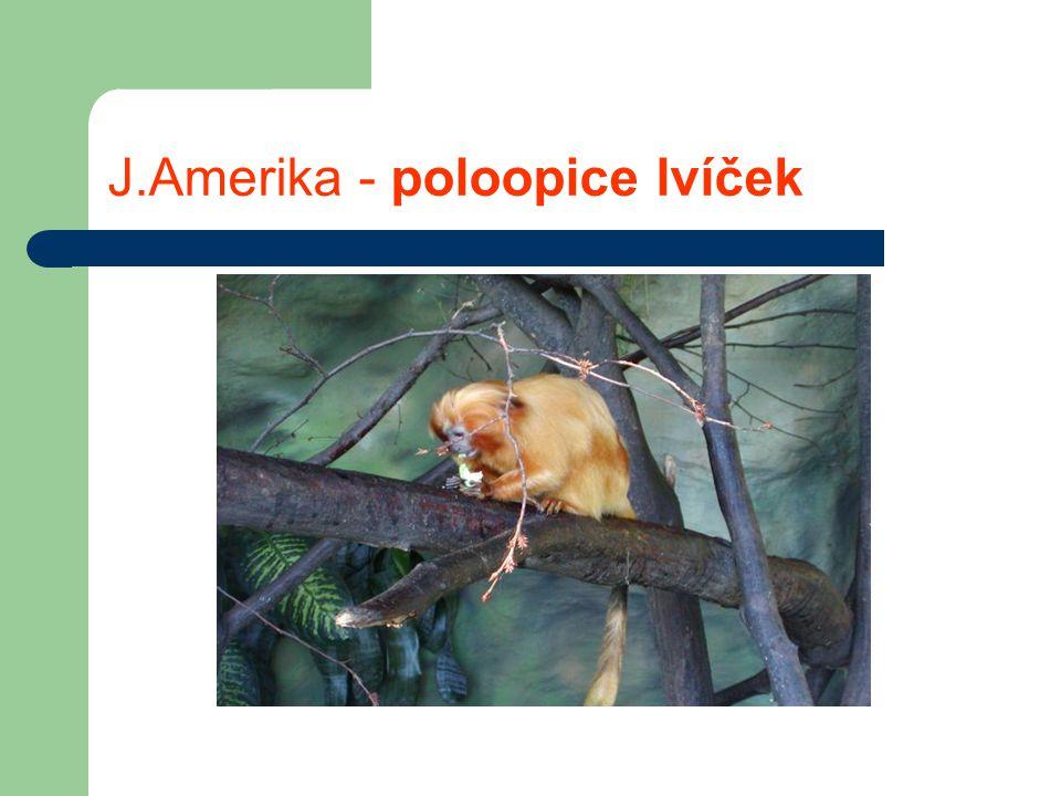 J.Amerika - poloopice lvíček