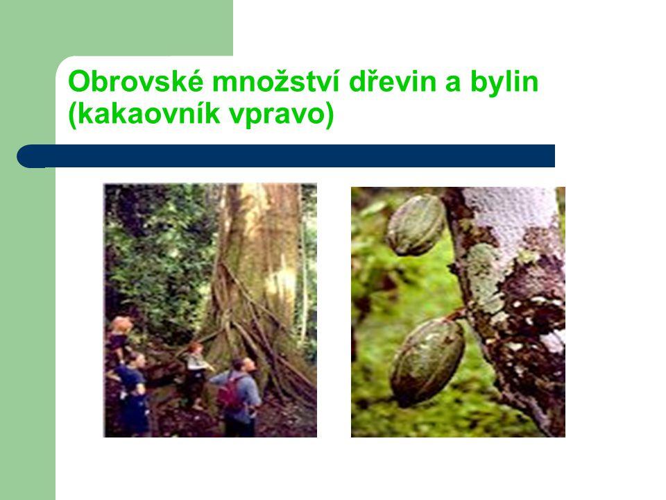 Obrovské množství dřevin a bylin (kakaovník vpravo)