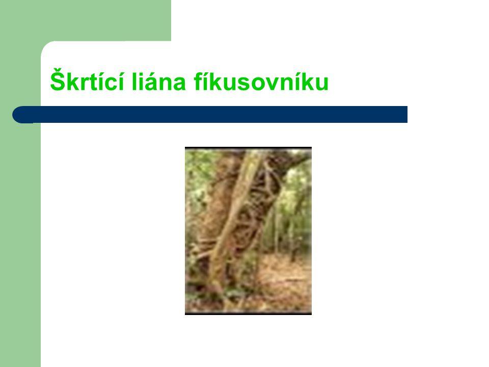 Škrtící liána fíkusovníku