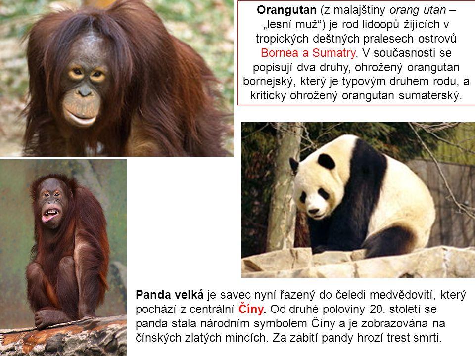 """Orangutan (z malajštiny orang utan – """"lesní muž ) je rod lidoopů žijících v tropických deštných pralesech ostrovů Bornea a Sumatry. V současnosti se popisují dva druhy, ohrožený orangutan bornejský, který je typovým druhem rodu, a kriticky ohrožený orangutan sumaterský."""