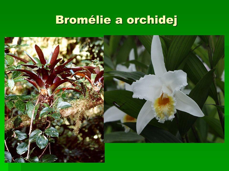 Bromélie a orchidej