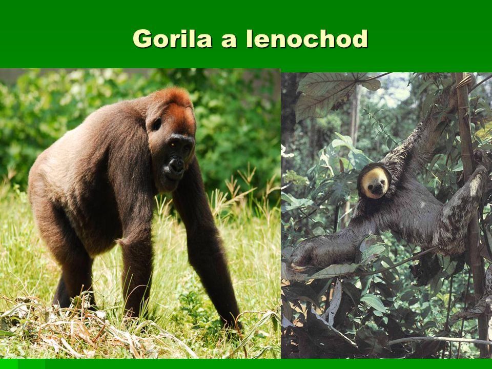 Gorila a lenochod
