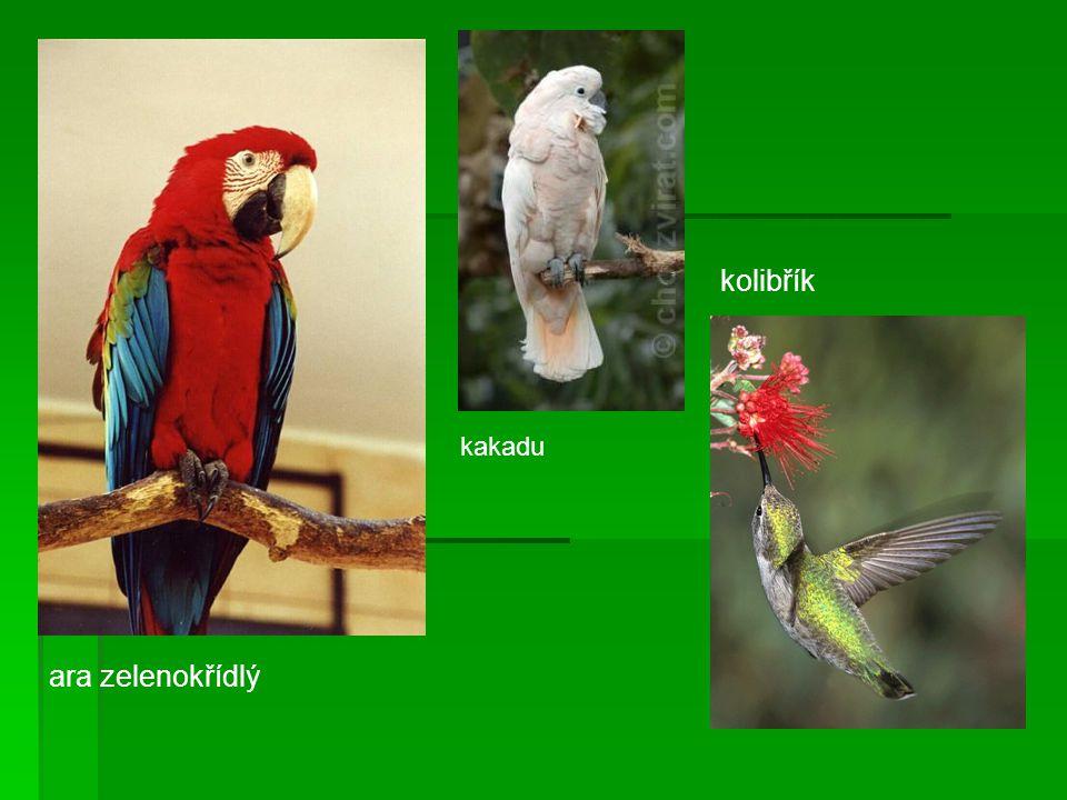 kolibřík kakadu ara zelenokřídlý