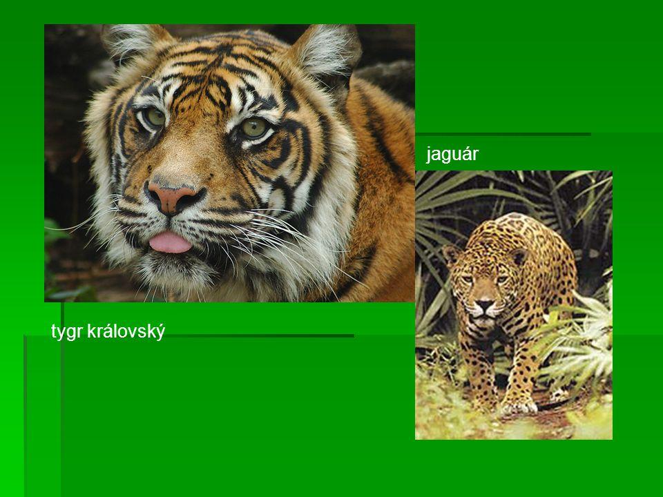 jaguár tygr královský