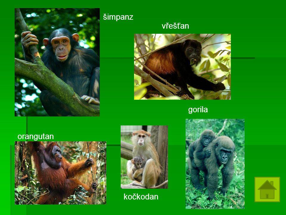 šimpanz vřešťan gorila orangutan kočkodan