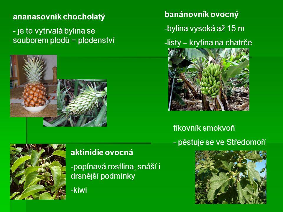 banánovník ovocný bylina vysoká až 15 m. listy – krytina na chatrče. ananasovník chocholatý.