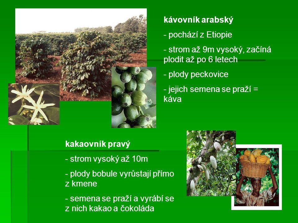 kávovník arabský pochází z Etiopie. strom až 9m vysoký, začíná plodit až po 6 letech. plody peckovice.