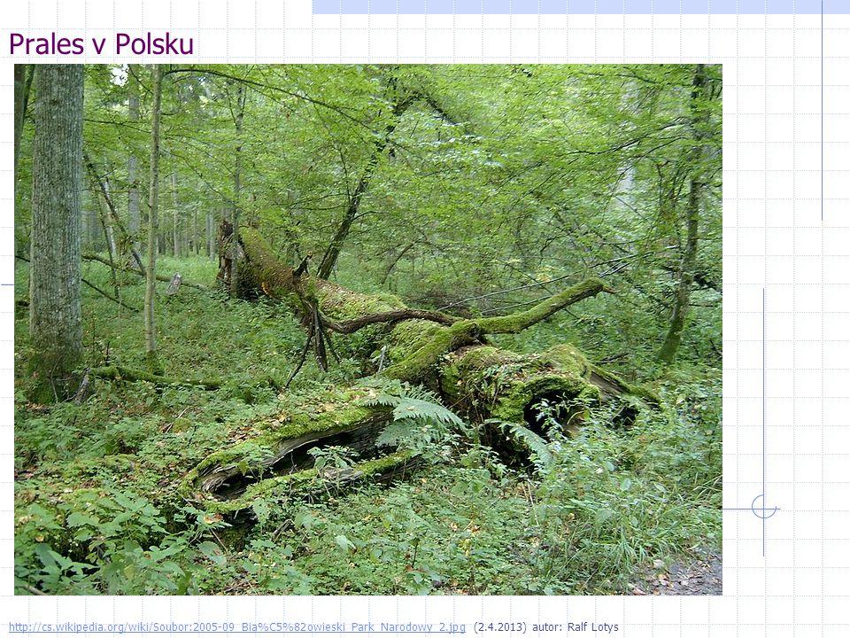 Prales v Polsku http://cs.wikipedia.org/wiki/Soubor:2005-09_Bia%C5%82owieski_Park_Narodowy_2.jpg (2.4.2013) autor: Ralf Lotys.