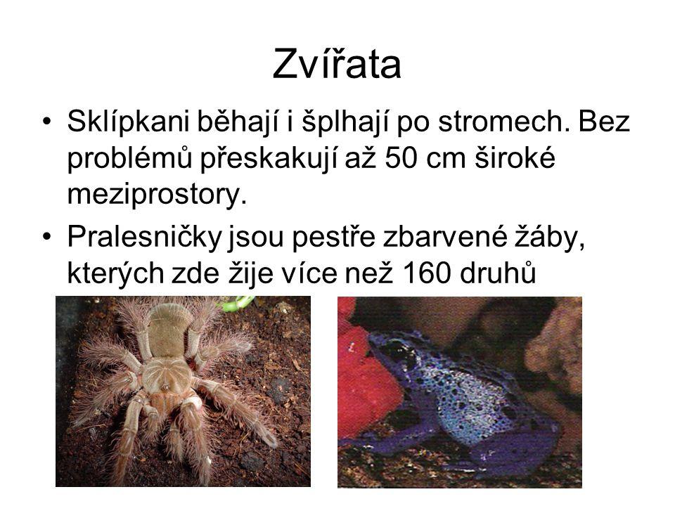 Zvířata Sklípkani běhají i šplhají po stromech. Bez problémů přeskakují až 50 cm široké meziprostory.