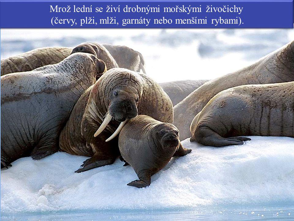 Mrož lední se živí drobnými mořskými živočichy