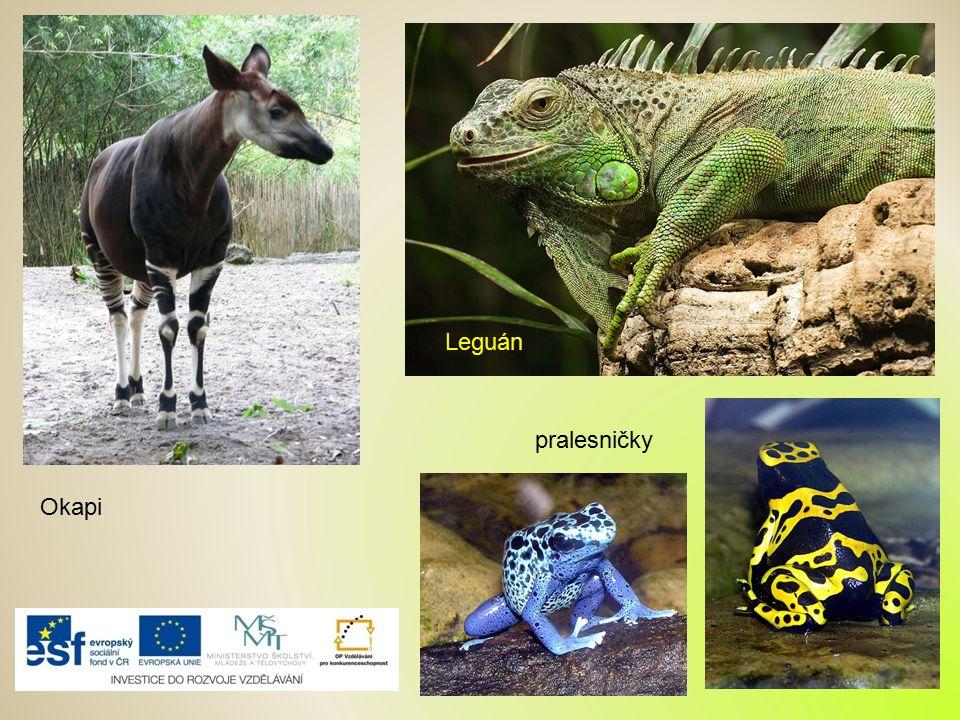 Leguán pralesničky Okapi