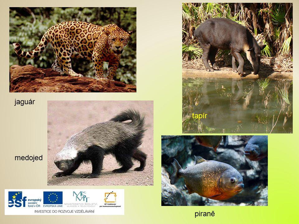 jaguár tapír medojed piraně
