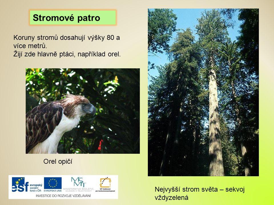 Stromové patro Koruny stromů dosahují výšky 80 a více metrů.