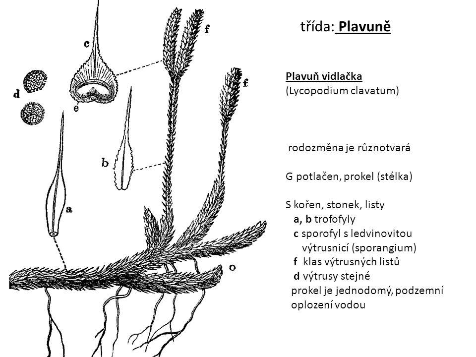 třída: Plavuně Plavuň vidlačka (Lycopodium clavatum)