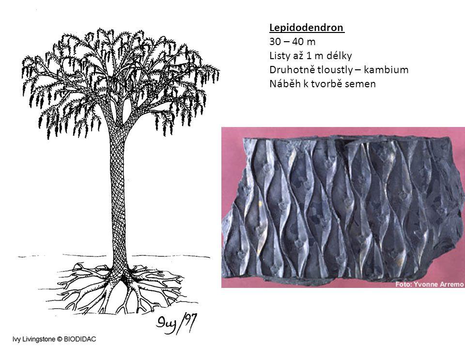 Lepidodendron 30 – 40 m Listy až 1 m délky Druhotně tloustly – kambium Náběh k tvorbě semen