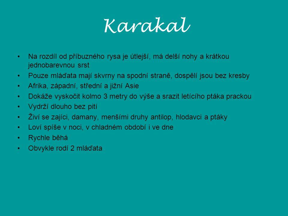 Karakal Na rozdíl od příbuzného rysa je útlejší, má delší nohy a krátkou jednobarevnou srst.