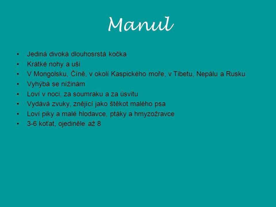Manul Jediná divoká dlouhosrstá kočka Krátké nohy a uši