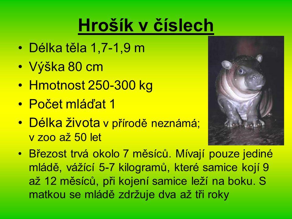 Hrošík v číslech Délka těla 1,7-1,9 m Výška 80 cm Hmotnost 250-300 kg