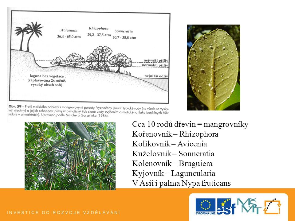 Cca 10 rodů dřevin = mangrovníky