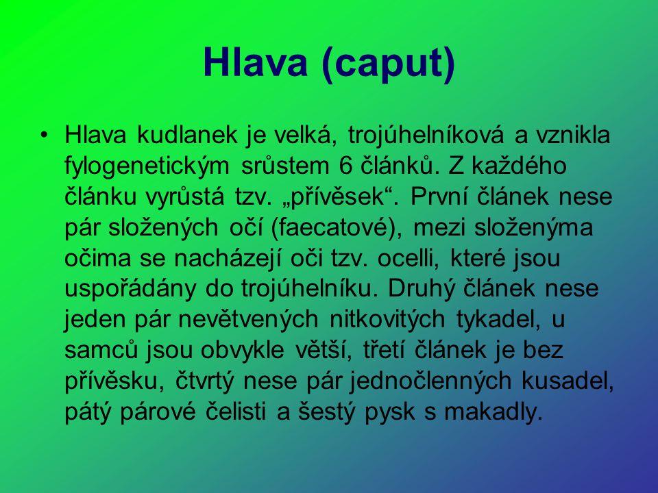 Hlava (caput)