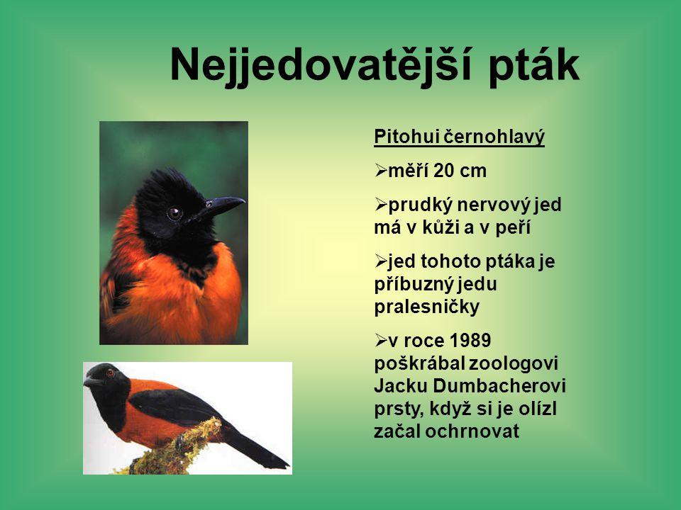 Nejjedovatější pták Pitohui černohlavý měří 20 cm