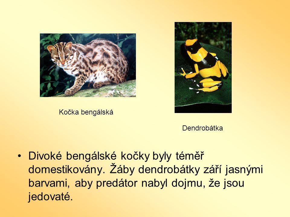 Kočka bengálská Dendrobátka. OK.