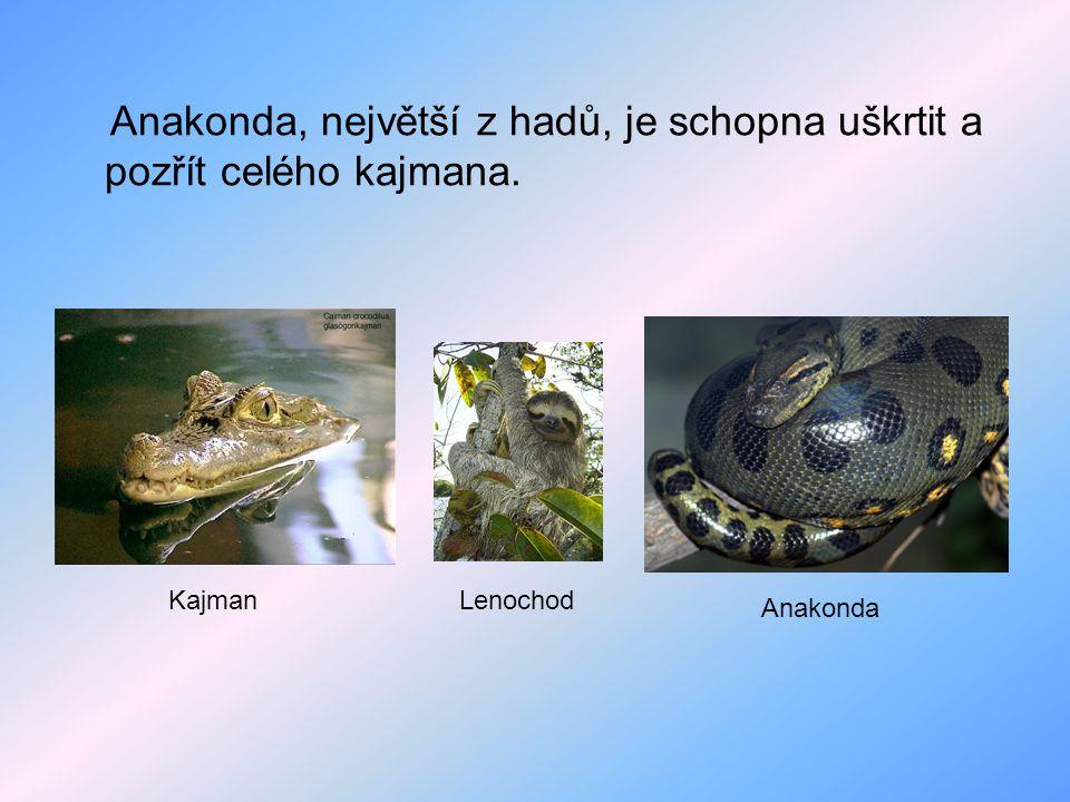 Anakonda, největší z hadů, je schopna uškrtit a pozřít celého kajmana.