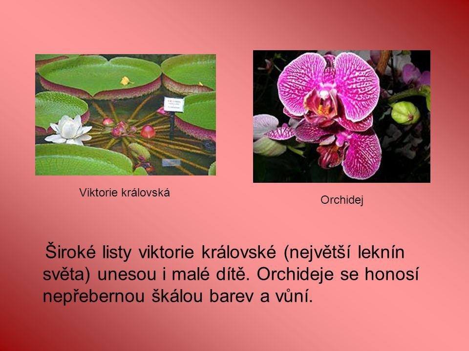 Viktorie královská Orchidej. OK.