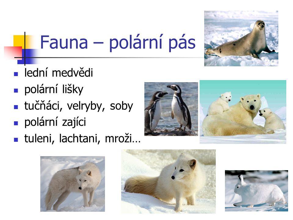 Fauna – polární pás lední medvědi polární lišky tučňáci, velryby, soby
