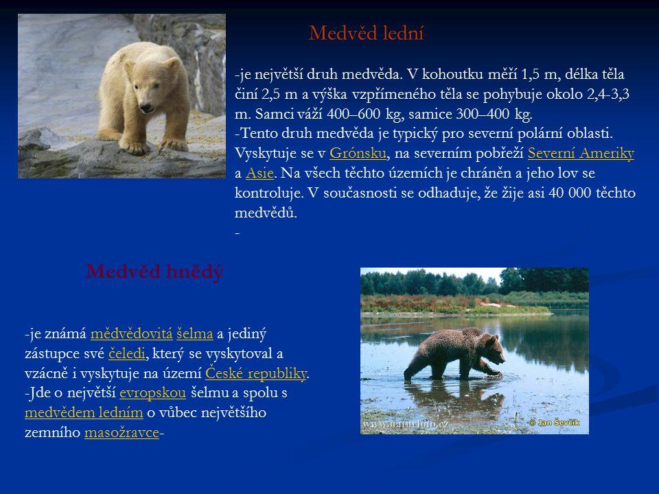 Medvěd lední Medvěd hnědý