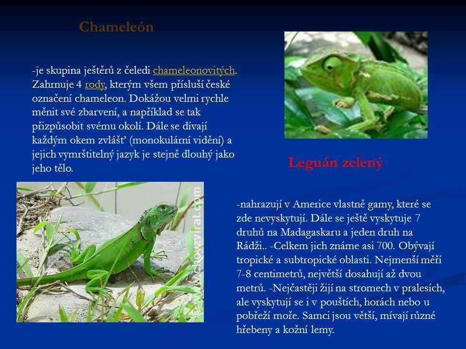 Chameleón Leguán zelený