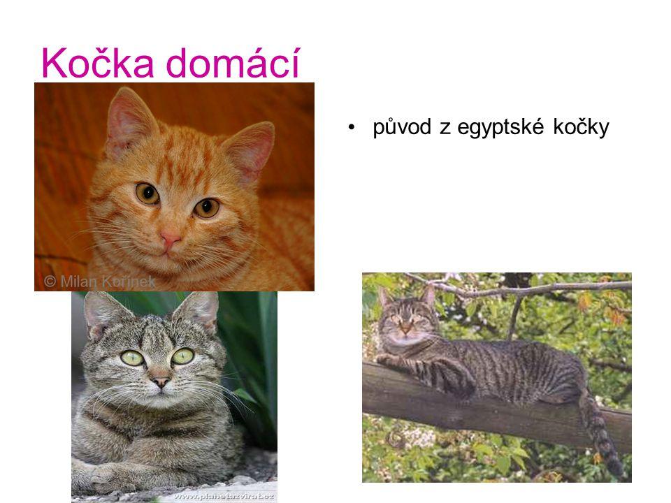 Kočka domácí původ z egyptské kočky
