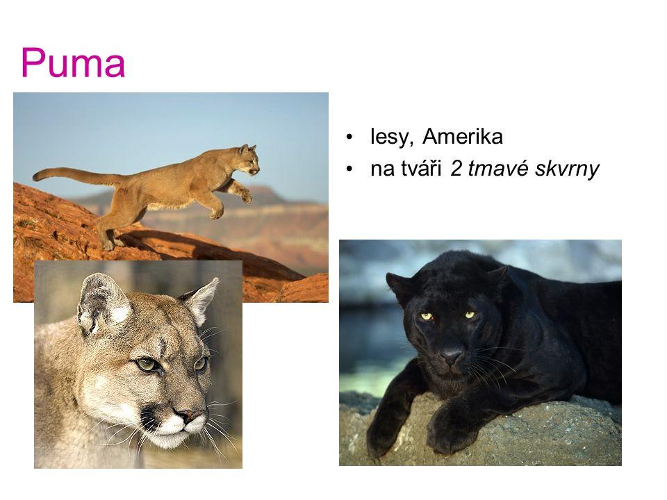 Puma lesy, Amerika na tváři 2 tmavé skvrny Puma - lesy, Amerika