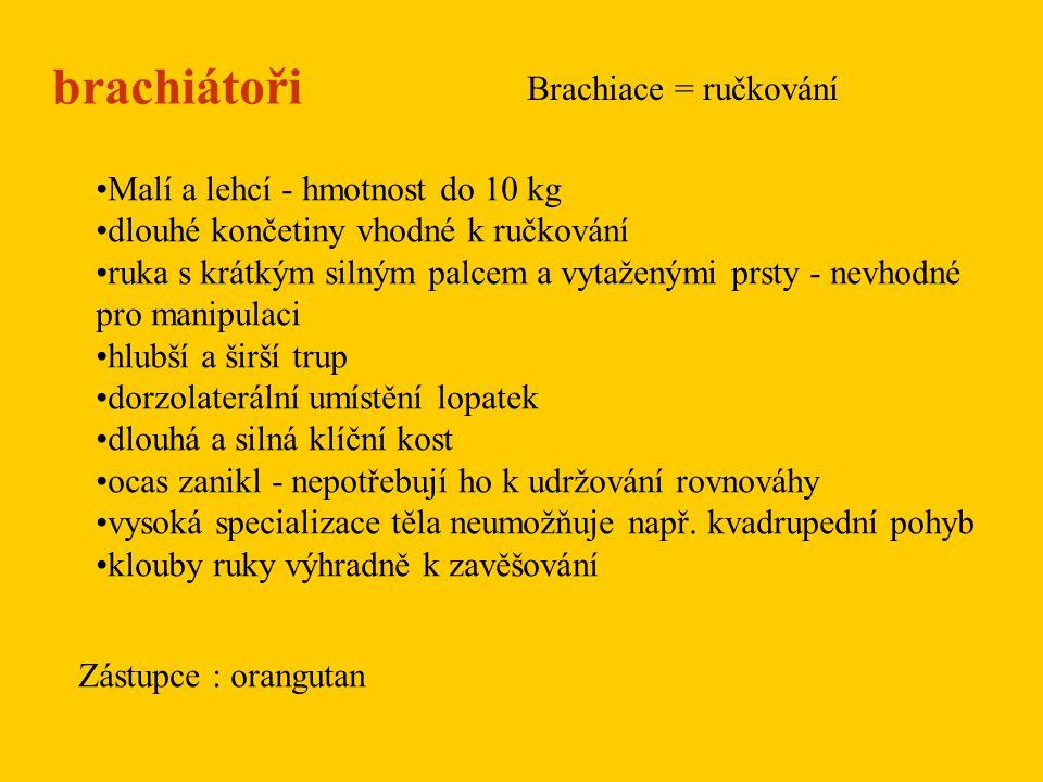 brachiátoři Brachiace = ručkování Malí a lehcí - hmotnost do 10 kg