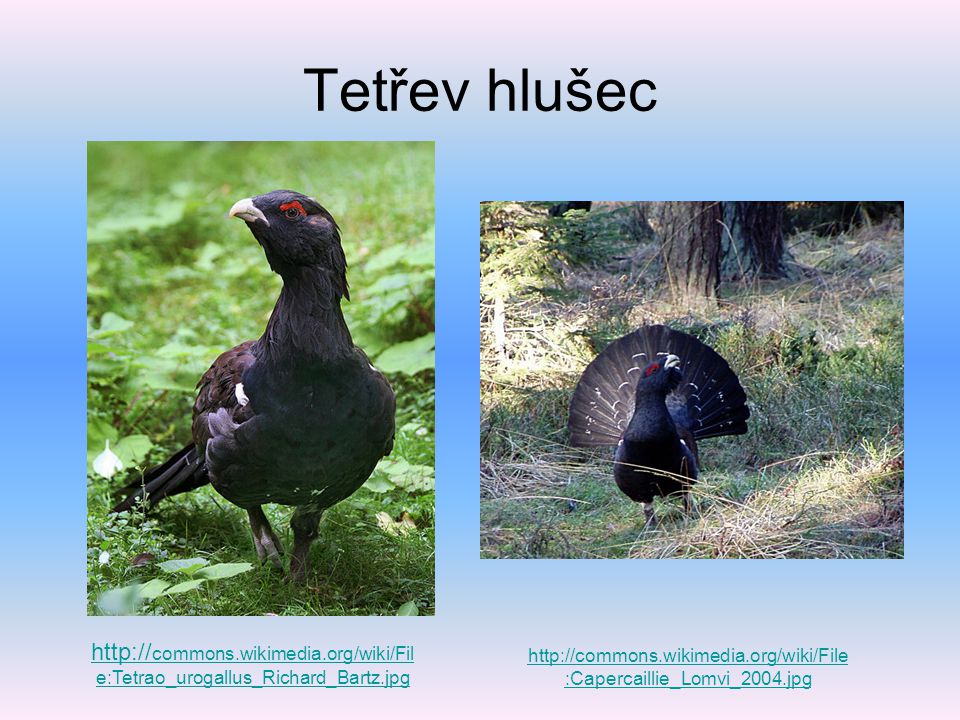Tetřev hlušec http://commons.wikimedia.org/wiki/File:Tetrao_urogallus_Richard_Bartz.jpg.
