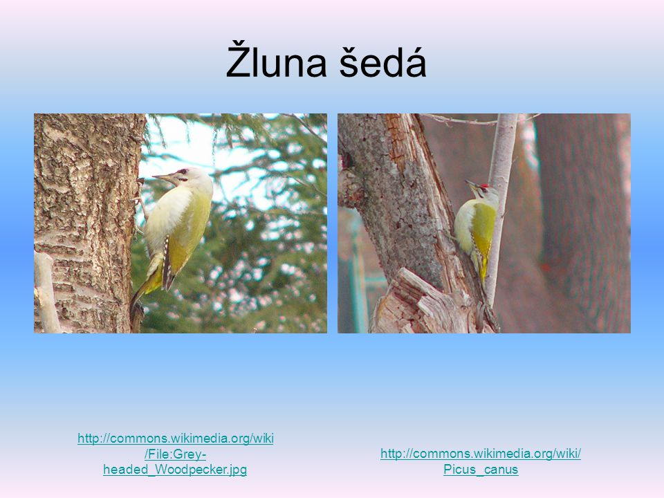 Žluna šedá http://commons.wikimedia.org/wiki/File:Grey-headed_Woodpecker.jpg.