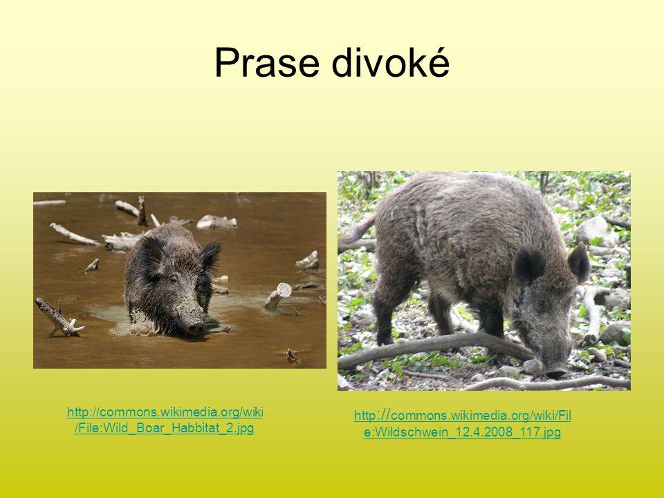 Prase divoké http://commons.wikimedia.org/wiki/File:Wild_Boar_Habbitat_2.jpg.