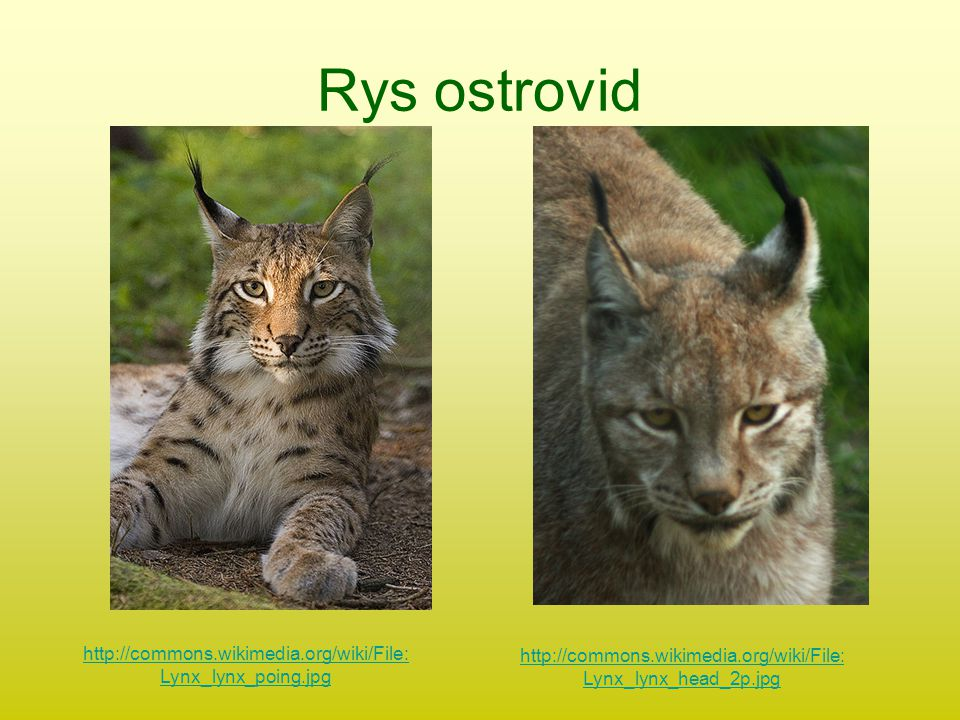 Rys ostrovid http://commons.wikimedia.org/wiki/File:Lynx_lynx_poing.jpg.