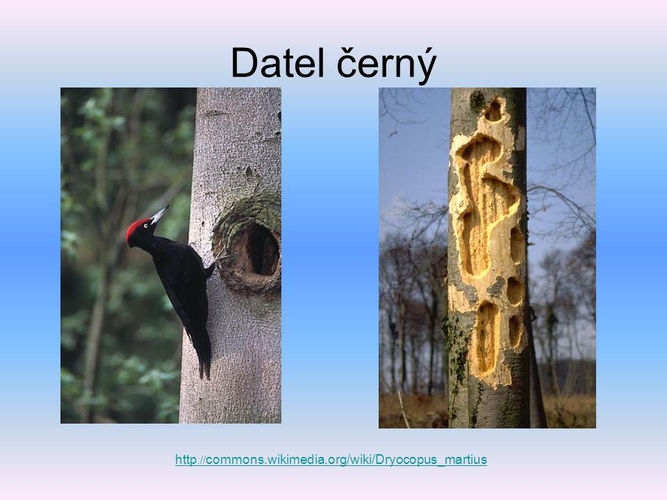 Datel černý http://commons.wikimedia.org/wiki/Dryocopus_martius