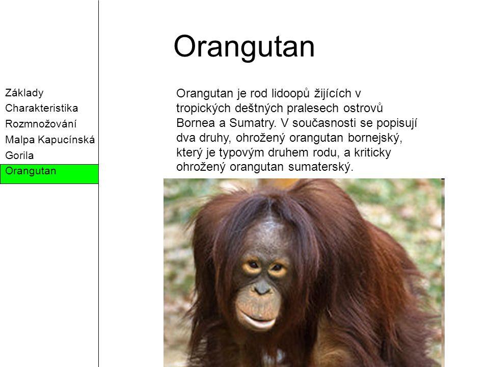 Orangutan Základy. Charakteristika. Rozmnožování. Malpa Kapucínská. Gorila. Orangutan.
