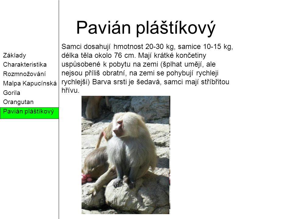 Pavián pláštíkový