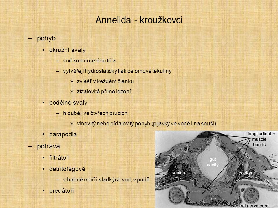 Annelida - kroužkovci pohyb potrava okružní svaly podélné svaly