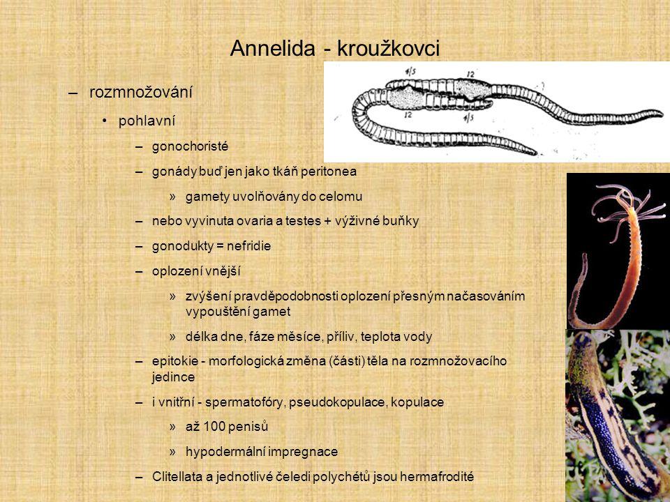 Annelida - kroužkovci rozmnožování pohlavní gonochoristé