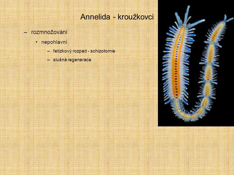 Annelida - kroužkovci rozmnožování nepohlavní
