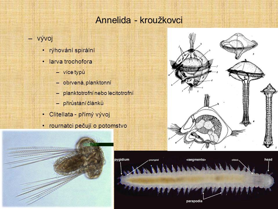 Annelida - kroužkovci vývoj rýhování spirální larva trochofora