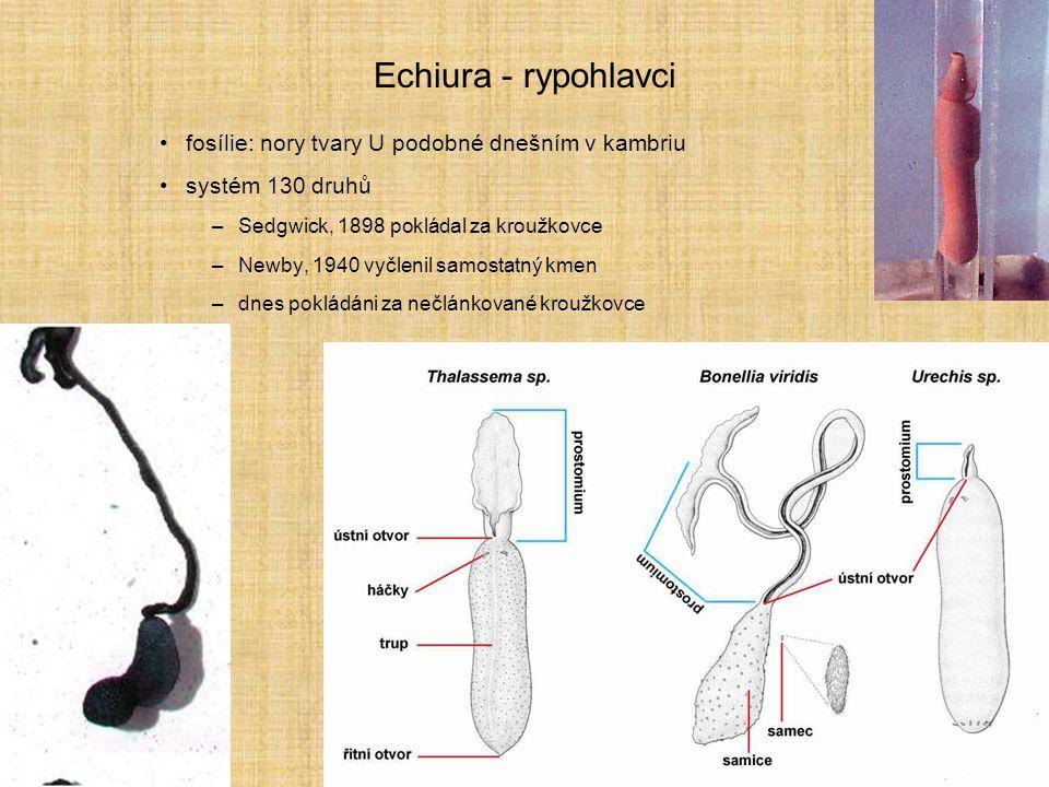 Echiura - rypohlavci fosílie: nory tvary U podobné dnešním v kambriu
